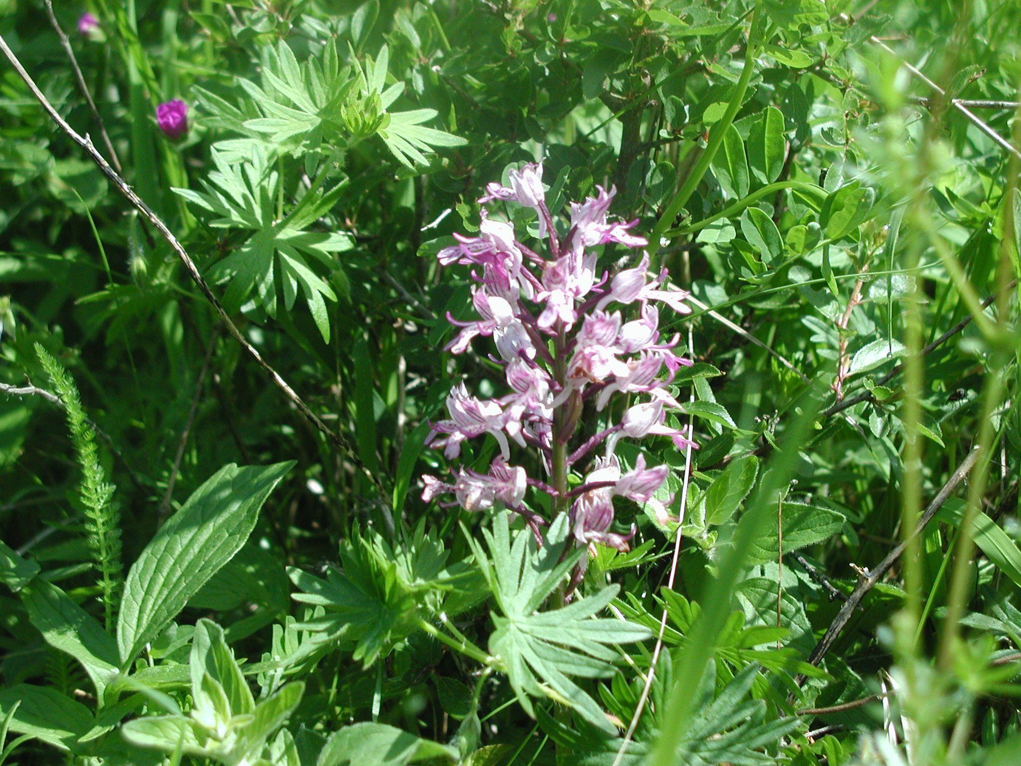 Orchideen wandern franken muschelkalk